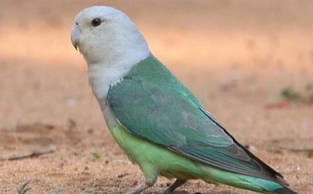 Jenis Lovebird Madagaskar