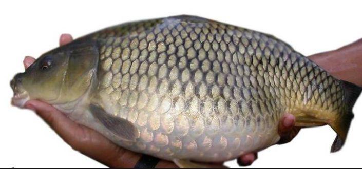 Budidaya Ikan Mas - Pemijahan