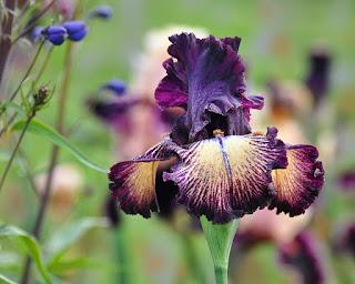 bunga iris melambangkan