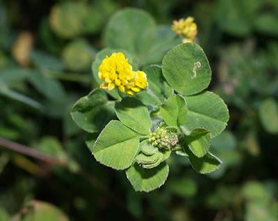 Fenarda (Trifolium campestre)
