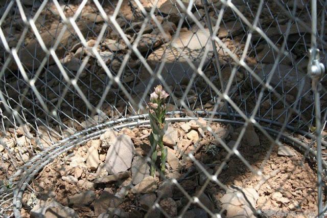 Το σπάνιο φυτό που απο όλο τον κόσμο υπάρχει μόνο στην Κρήτη (φωτο)