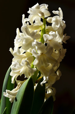 white forced hyacinth flower