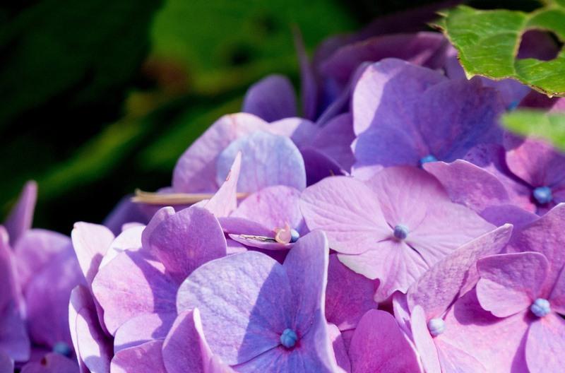 Hortensia. Hydrangea macrophylla. The Pazo's Secret Garden. Rose McMonigall. RHS Hampton Court Flower Show 2017