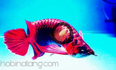 Cara Mengatasi Sisik Ikan Arwana Lepas Akibat Penyakit Borok