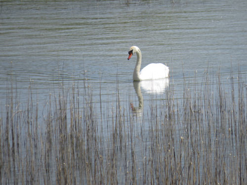 swan on Canfield Lake, Manistee County, Michigan
