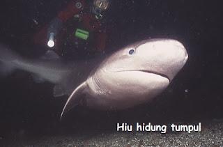 ikan hiu hidung tumpul dengan penyelam