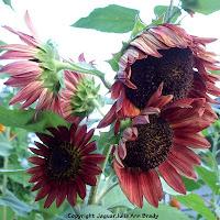 Multiple flower head of autumn beauty sunflower blossoms
