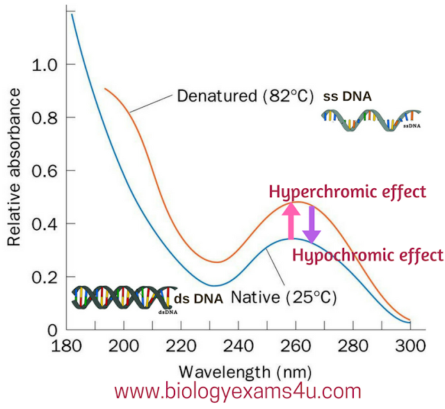 Hyperchromic and hypochromic effect dsDNA vs ssDNA absorbance graph