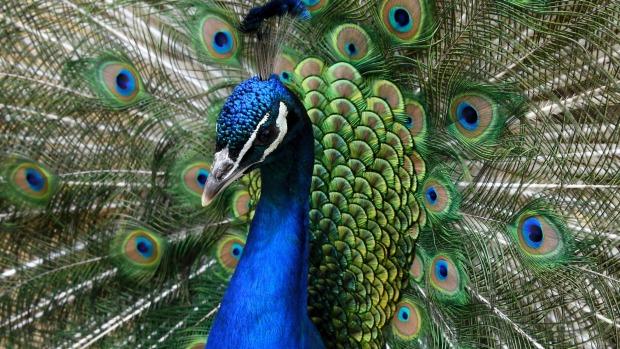 30 Fakta Menarik Tentang Burung Merak