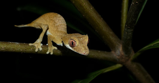 Spear Point Leaf Tail Gecko