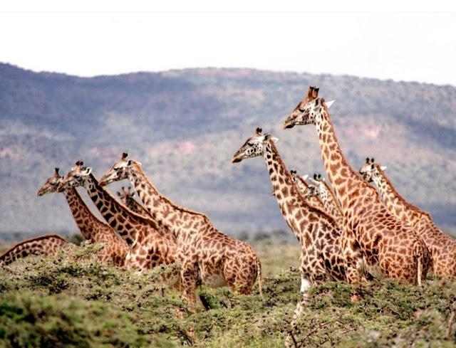 Giraffe's can gallop 30 miles per hour