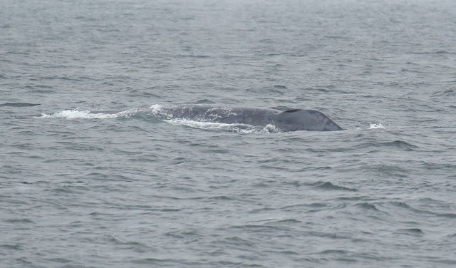 Blue Whale blow hole