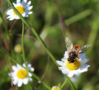 Another bee, this time with daisies