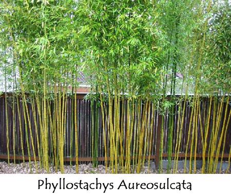 Bamboo Hedge Backyards