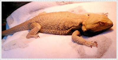 bearded dragon is sick