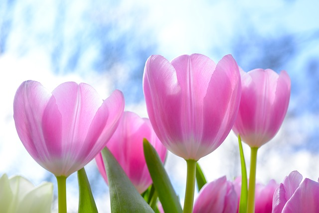 hoa tulip hồng, tím đẹp nhất