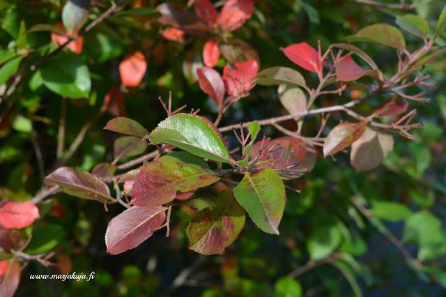 vihrea punainen aronia aita