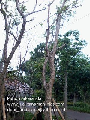 JUAL POHON JAKARANDA | JACARANDA | TANAMAN PELINDUNG | FLORIST