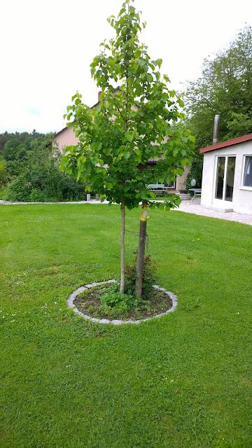 Baumhaselnuß als Hausbaum (c) by Joachim Wenk