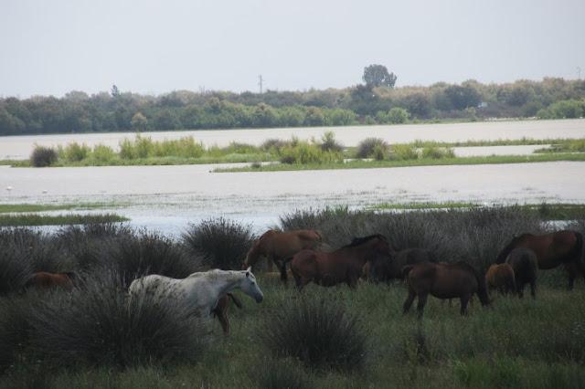 halfwilde paarden bij Donana Nationaal Park