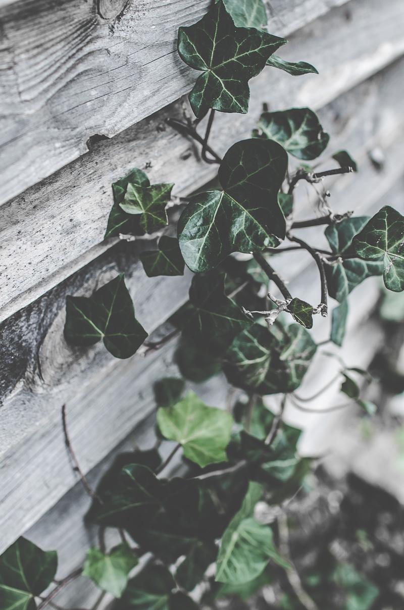 Murgröna, klätterväxter