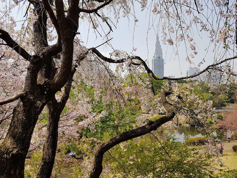 櫻花與都市,不知道遠處的大樓是什麼名字