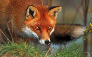 Δελτίο Τύπου: Ενημέρωση πολιτών για τη διενέργεια προγράμματος δια του στόματος εμβολιασμού των αλεπούδων κατά της λύσσας την άνοιξη του 2017