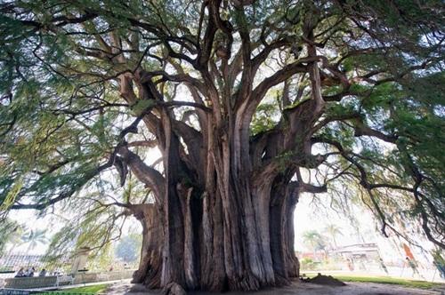 7 Jenis Pohon Terbesar dan Tertua di Dunia