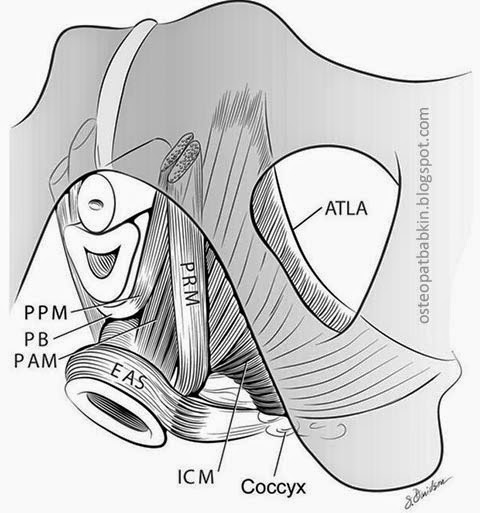 сухожильная дуга мышца, поднимающей задний проход arcus tendineus levator ani, наружний сфинктер заднего прохода