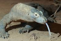Amazing Komodo Dragon Facts in Hindi