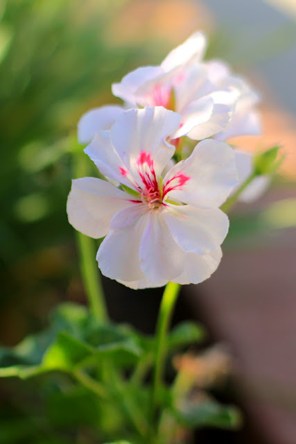 White and Pink Geraniums - Flower Photography by Mademoiselle Mermaid