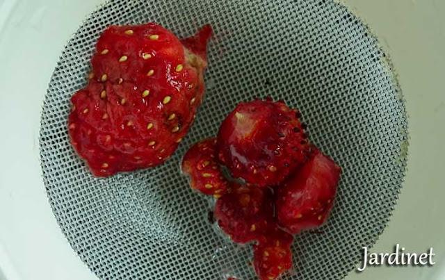 Como fazer mudas de morango a partir de sementes