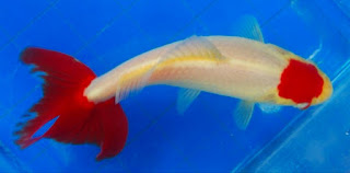 jenis ikan mas komet tercantik Tancho