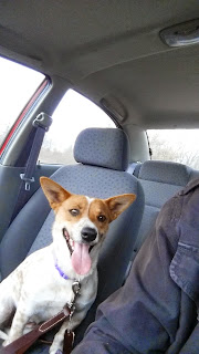 Henna, the adorable Corgi / Cattle Dog mix riding shotgun