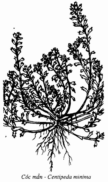 Hình vẽ CÓC MẲN - Centipeda minima - Nguyên liệu làm thuốc Chữa Ho Hen