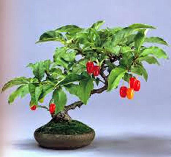 Se virando sem grana como cultivar bonsai for Como cultivar bonsais