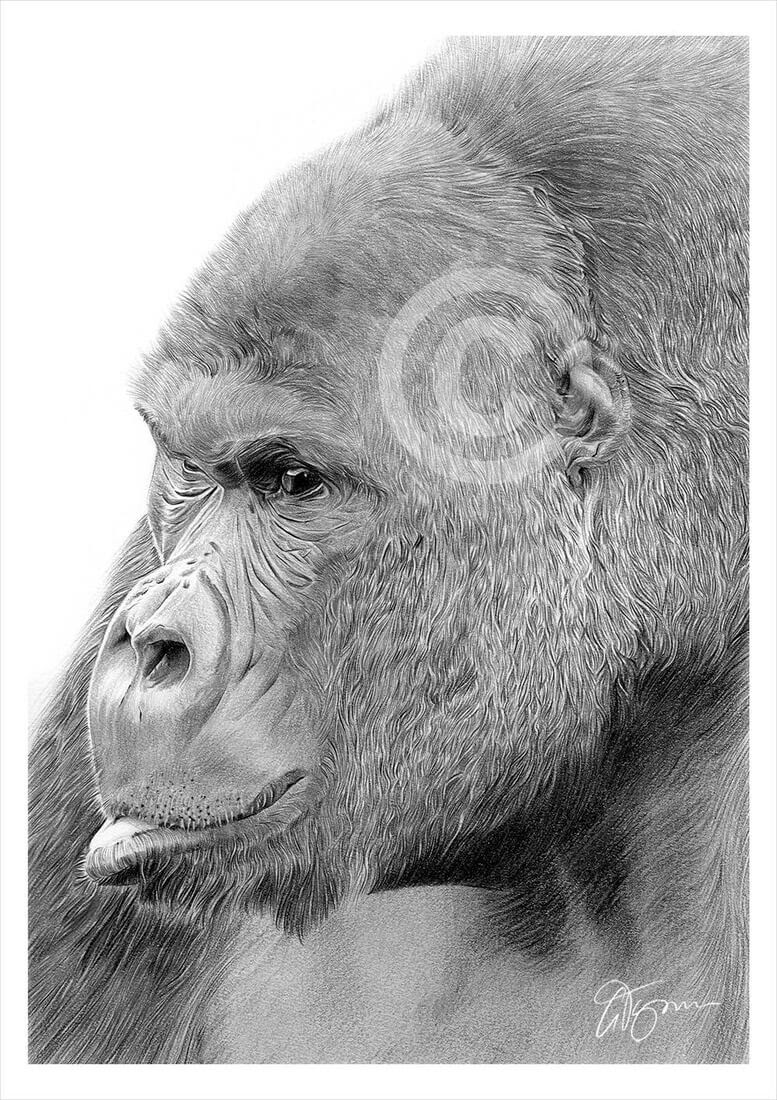 03-Mountain-Gorilla-Gary-Tymon-Wildlife-and-Domestic-Animal-Pencil-Drawings-www-designstack-co