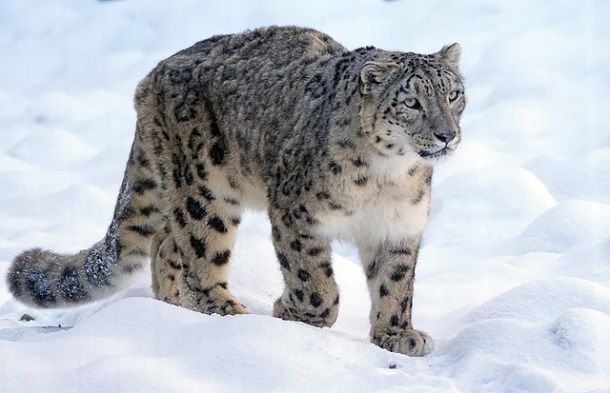 Snow Leopard in Hindi