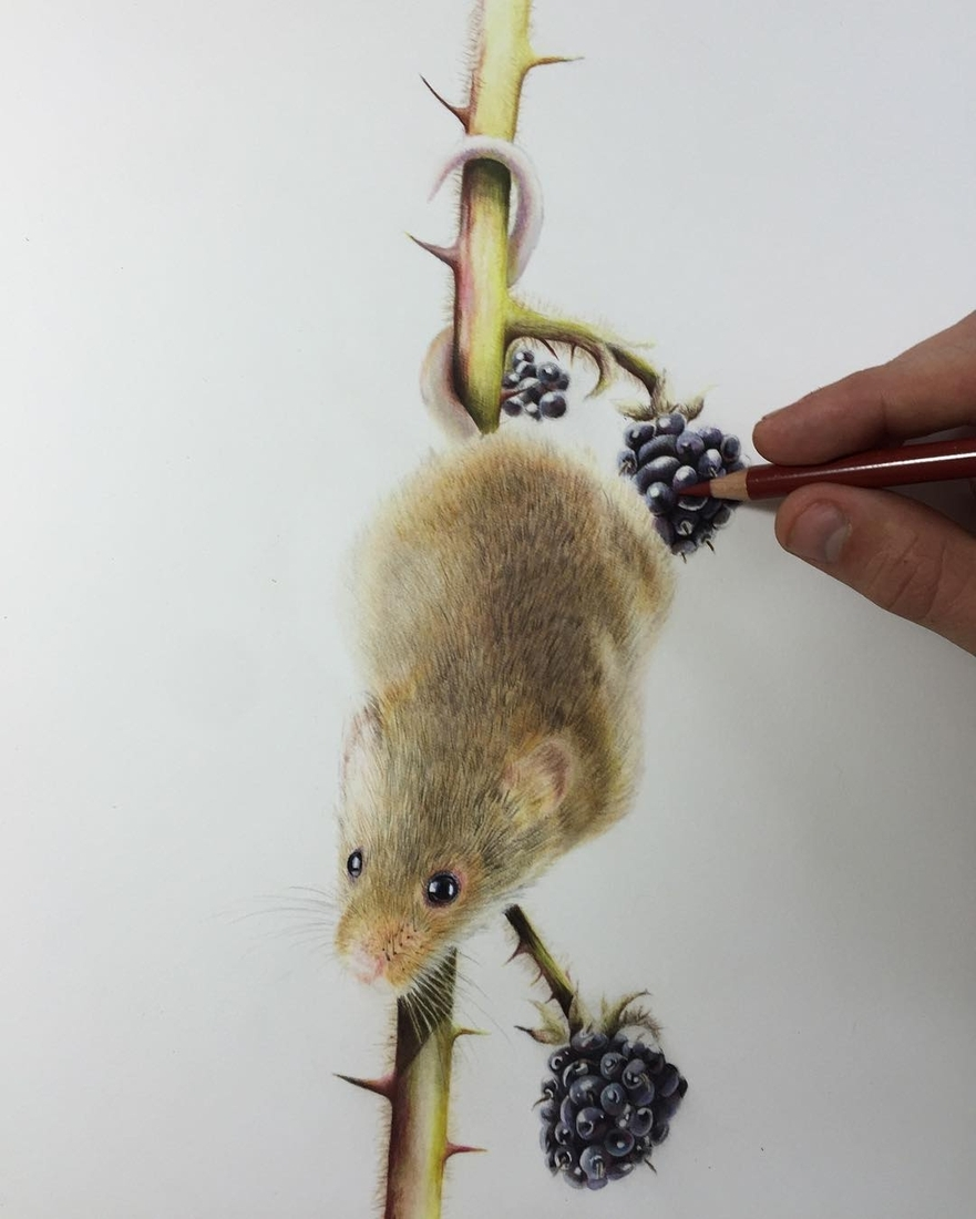 03-Harvest-Mouse-Paul-Miller-Wildlife-and-Domestic-Animal-Drawings-www-designstack-co
