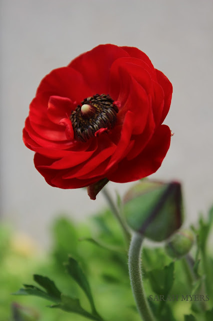 flower, red, ranunculus, favorite, photography, sarah, myers, nature, spring, plant, garden, bloom, bud, beauty, scarlet, colour, color, amy, myers, smallsunnygarden, small, sunny, desert, bulb, perfect, bright
