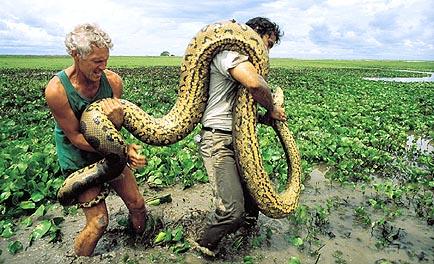 http://4.bp.blogspot.com/-tSJ4QR96vsg/UKvuBA6MFmI/AAAAAAAABZw/PXvcl3Ebb6U/s1600/anaconda-snake%20with%202%20guys.jpg Green Anaconda Attacks On Humans