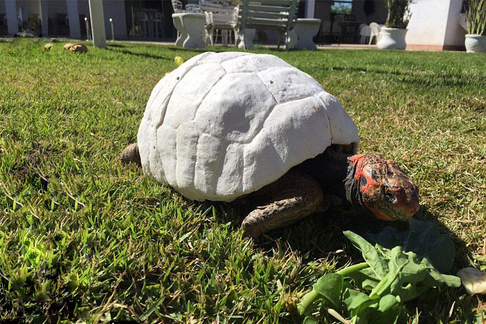 Injured Tortoise Receives World's First 3D Printed Shell - The new shell fitted Freddy perfectly but it needed a little color