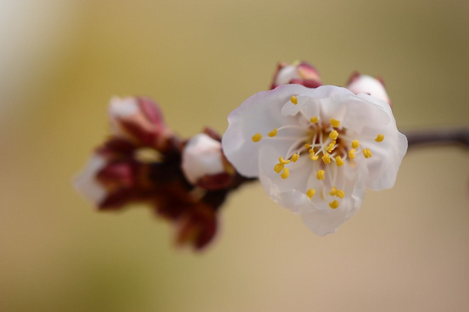 apricot blossoms, apricot bloom