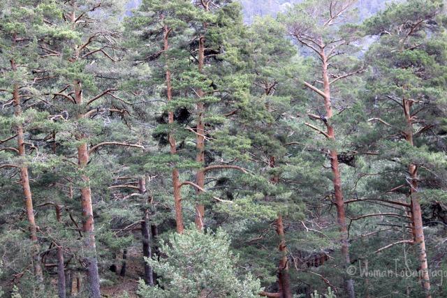 foto del bosque de pinos