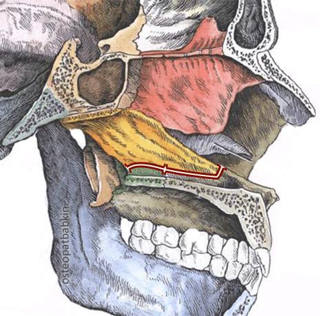 Шов верхней челюсти с сошником