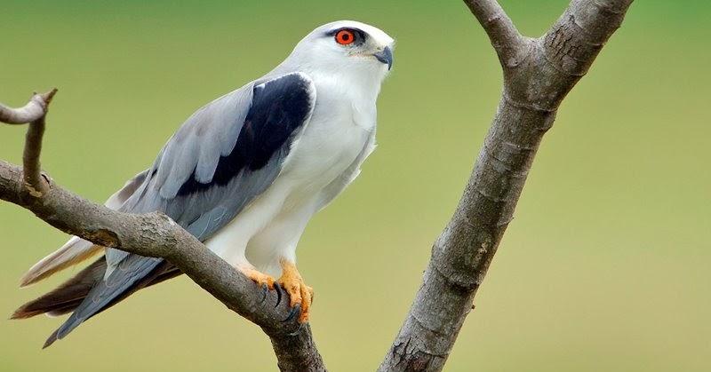 Elang Alap Alap Tikus Falconry Indonesia