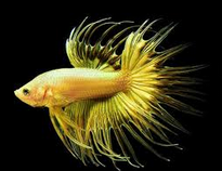 Cupang Serit 7 Besar Ikan Hias Paling Populer Di Indonesia