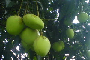 musiam buah,mangga muda,buah-buahan