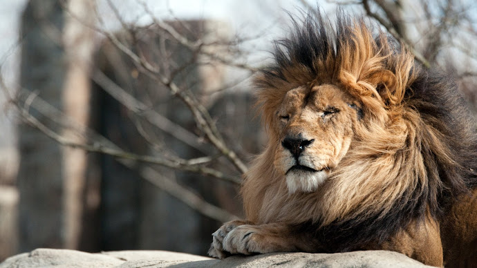 Wallpaper: The Lion King from Franklin Park Zoo
