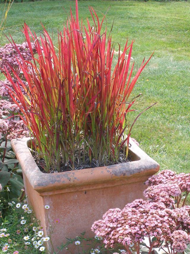 Seminte si plante de gradina hobby iarba decorativa imperata cylindrica red baron - Imperata cylindrica red baron ...